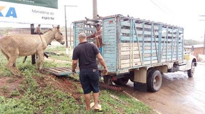 Polícia Rodoviária Estadual recolhe animais soltos na BA-130, entre Mairi e Várzea da Roça