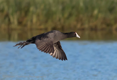 Red-knobbed coot in flight - Diep River / Woodbridge Island - Copyright Vernon Chalmers