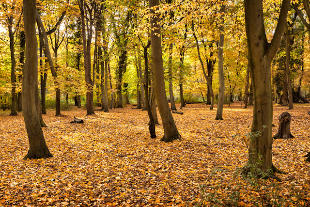 Autumn colour carpets the woodland at Hinchingbrooke Country Park