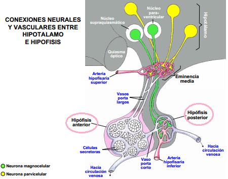 Biokurata Hormonas Neurohipofisiarias La oxitocina y la