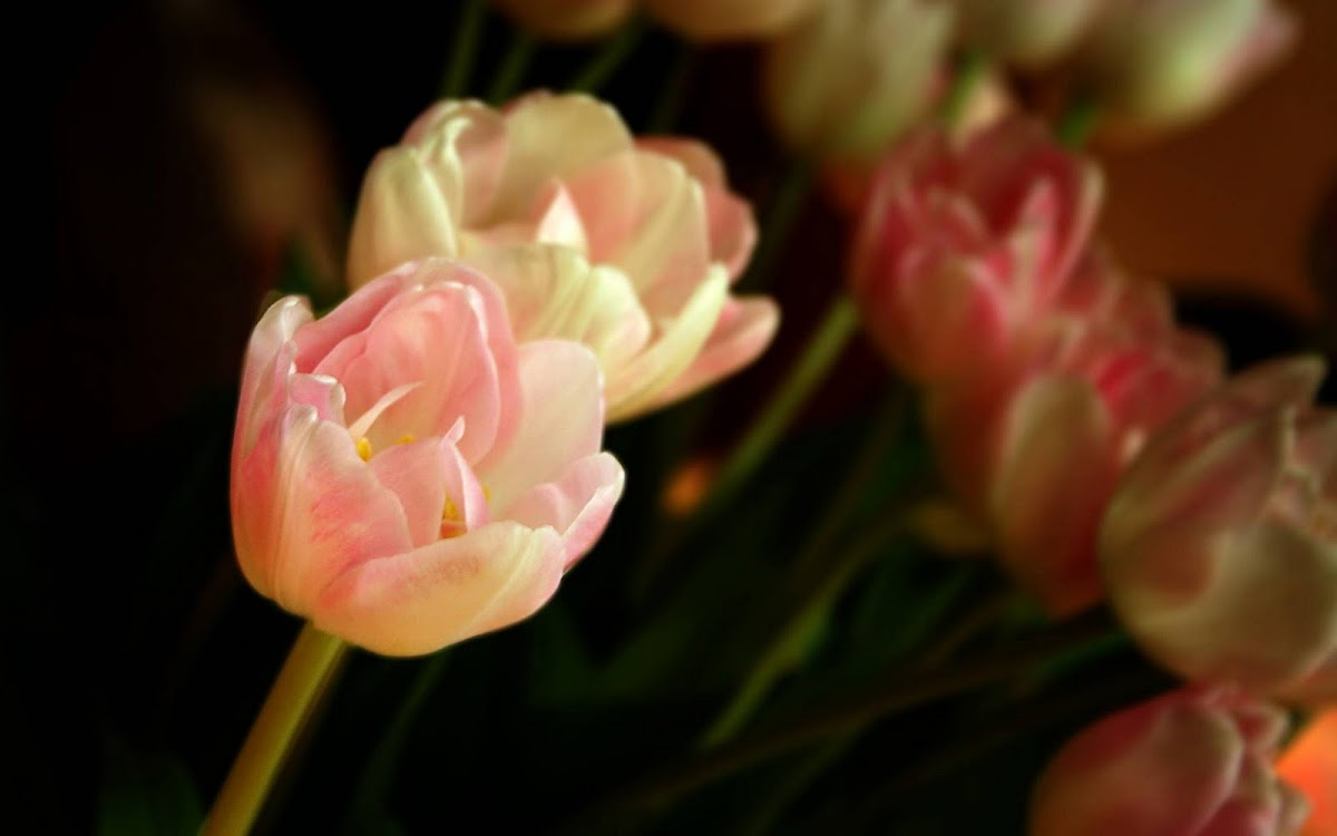 Beautiful Tulip Widescreen HD Wallpaper 10