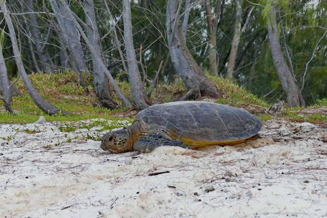Heron, Island, Insel, Schildkröte, Fortpflanzung, Strand, Morgen, Australien