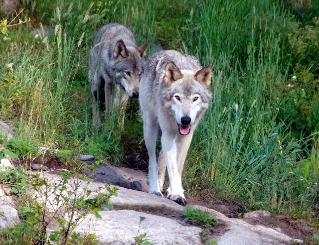 park omega wolf
