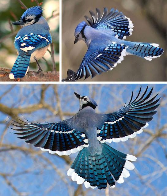Güzelliğiyle Tüm Dünyayı Büyüleyen En Dünyanın En Güzel Kuşları - Blue Jay - Mavi Alakarga - Kurgu Gücü