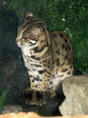 Kucing Leopard