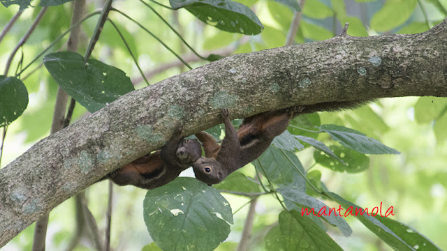 Playful Plaintain squirrel