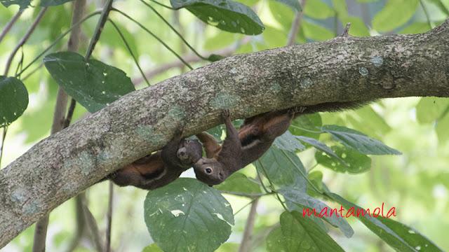 Playful Plaintain squirrel
