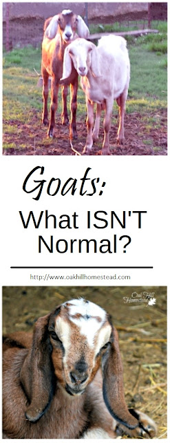 What is normal goat behavior and what ISN'T normal? Here are some abnormal behaviors.