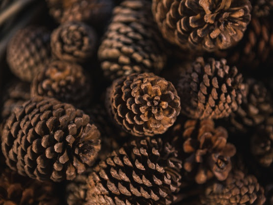 Frugal Homemade Christmas Tree: Preparing Pine Cones for Decorating