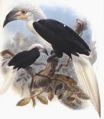 Cálao cresta blanca Aceros Berenicornis comatus