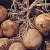 Tái sinh in vitro cây khoai tây (Solanum tuberosum L.) sử dụng tỷ lệ nồng độ hormone khác nhau