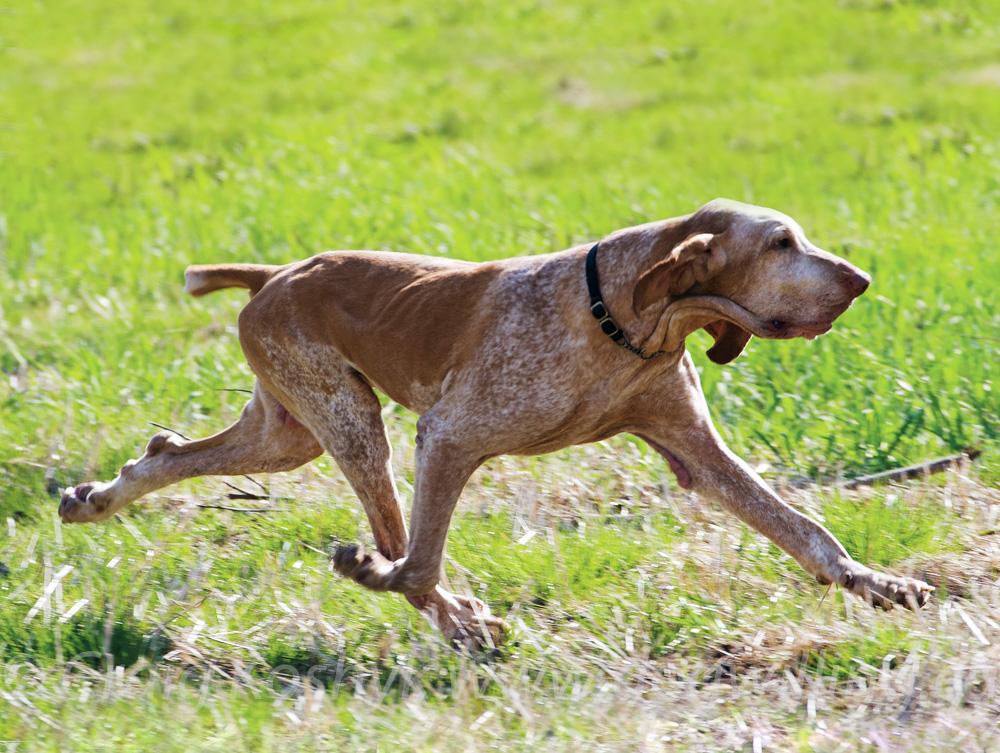 Pointing Dog Blog