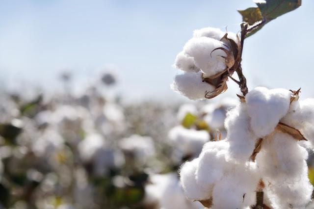 Olej z nasion bawełny w pielęgnacji włosów