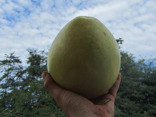Frutto Pomelo Citrus maxima