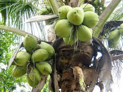 kelapa sudamala