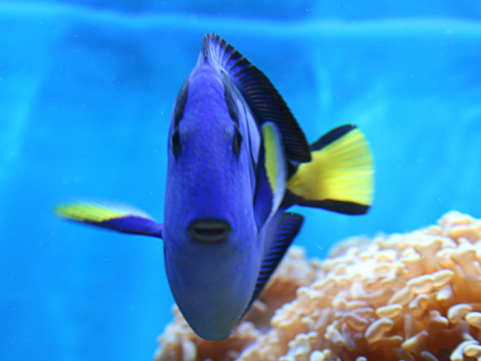 Life of blue tang life of sea for Blue clown fish