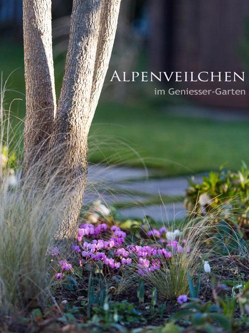 Gartenblog geniesser garten alpenveilchen cyclamen coum - Geniesser garten ...