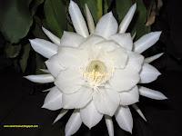 9 Manfaat Bunga Wijaya Kusuma Untuk Kesehatan