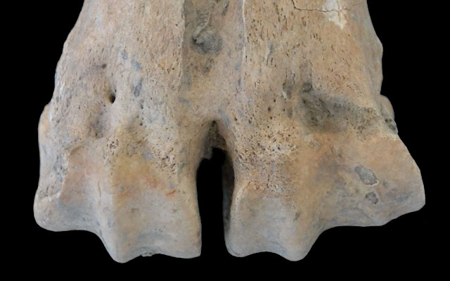 Cattle pulled loads 2,000 years earlier than previously thought