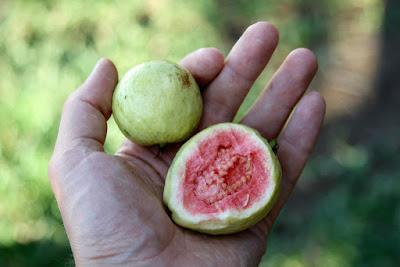 Guava Protein