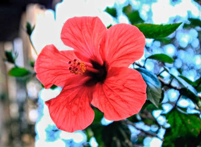 Flor rojo punzó