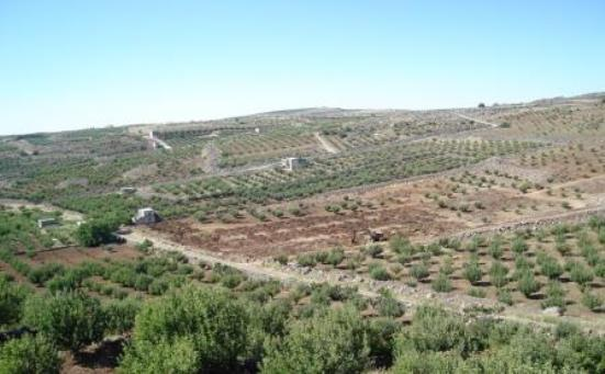 زراعة السويداء الحالة العامة للمحاصيل والأشجار المثمرة جيدة ولا أضرار