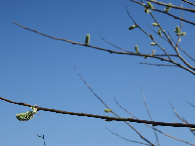 One green catkin in focus with others on twigs and blue sky.