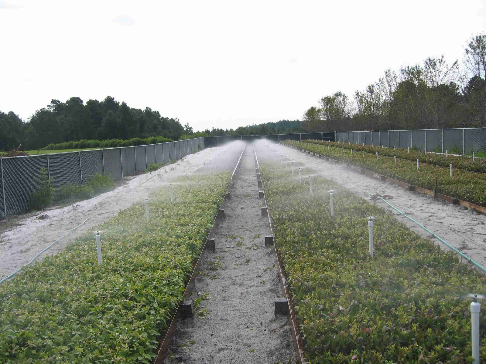 The Nc Blueberry Journal Notes On Softwood Propagation