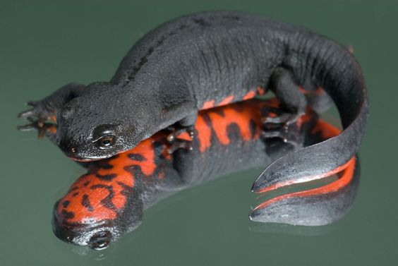 Amphibians: Japanese Fire Bellied Newt