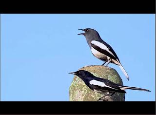 Burung Kacer - Indukan Betina yang Menentukan Anakannya yang Nantinya Akan Menjadi Juara atau Tidak
