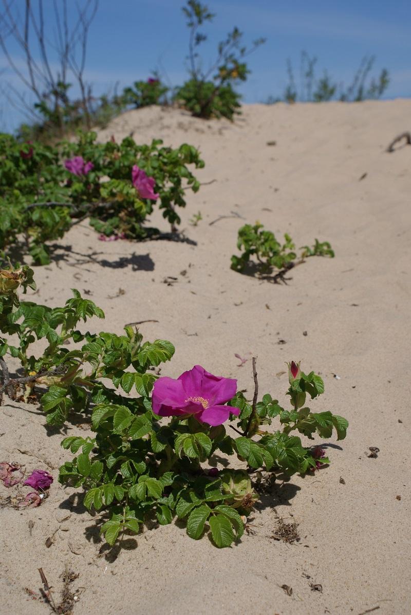 dzikie róże