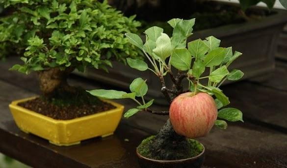 9 Cara Merawat Tanaman Bonsai Sebagai Pohon Hias