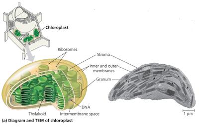 tilakoid (thylakoid) kloroplast, granumkloroplast, grana kloroplast, stroma kloroplast