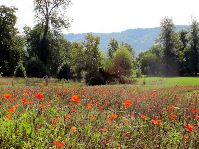 Field of les coquelicots