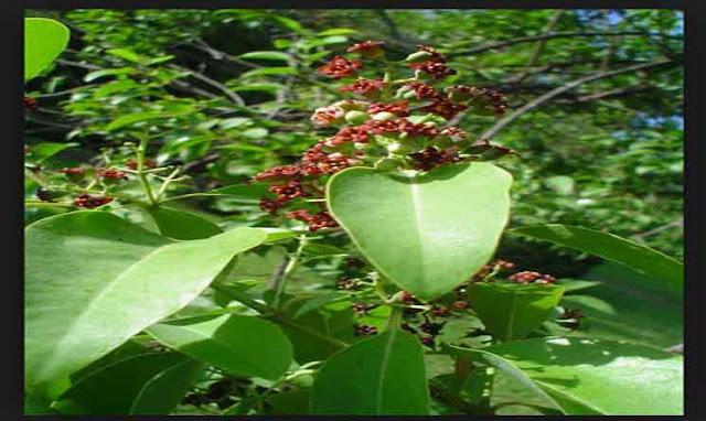 Pohon Cendana, Ekologi dan Penyebarannya