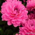 Lirik Lagu Bunga Dahlia - Lagu Dangdut Populer