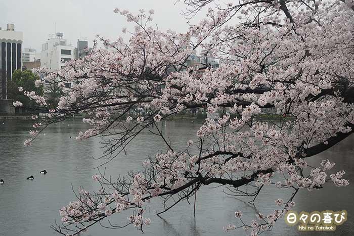 etang shinobazu ueno parc floraison sakura
