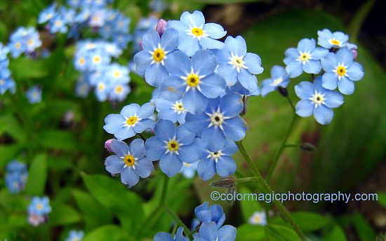 Wood Forget-me-not closeup - Myosotis sylvatica