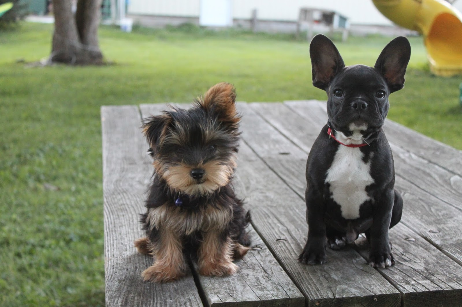 Our Yorkie Puppies Yorkie And Bulldog Mix