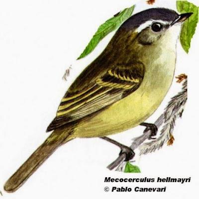 Piojito de los pinos, Mecocerculus hellmayri