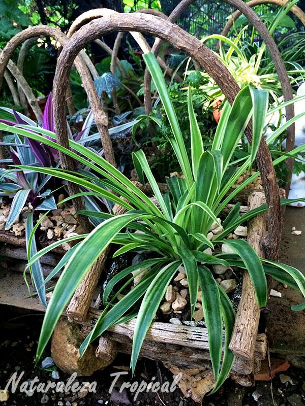 Maceta con forma de cesta construida a partir de troncos de plantas leñosas