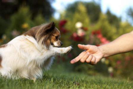 How to Care The Papillon Dog