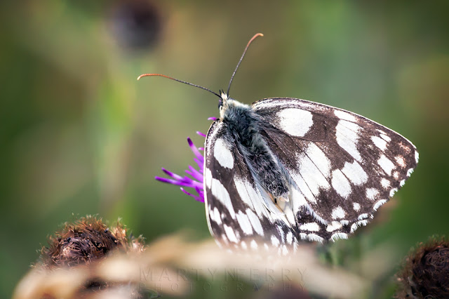 Macro image of black and white butterfly at Barnack Hills & Holes