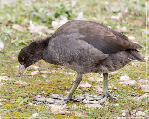 American Coot - feet. Copyright © Shelley Banks. All Rights Reserved.