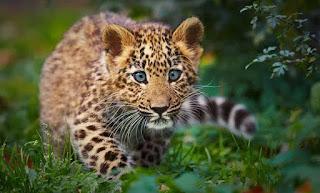 O filhote de onça com o corpo amarelo, pintas amarronzadas e rabo listrado, caminha sorrateiramente pela mata cerrada levemente agachado. Com olhos verdes muito atentos foca em nossa direção.