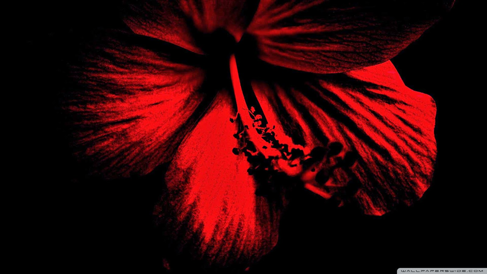 dark red hibiscus wallpaper