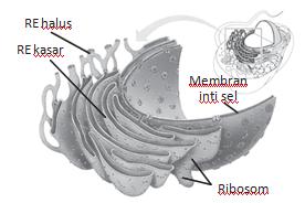Struktur Sitoplasma dan fungsinya