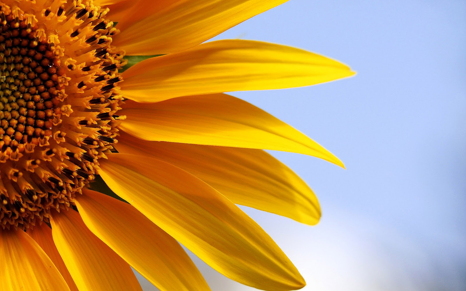 HD Background: Sunflower Wallpapers