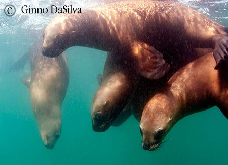 buceo con lobos marinos en peninsula valdes
