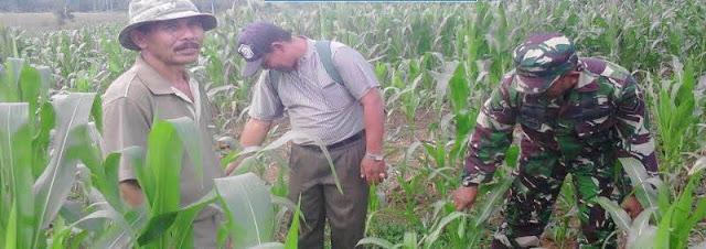 Serda Dedy Lakukan Pendampingan Petani Untuk Memonitoring Tanaman Jagung di Desa Ujung Tran